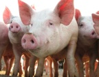 Seventh-day Adventists May Now Eat Pork!